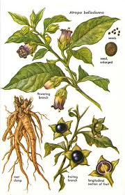 Белладонна (Красавка)(Atropa belladonna L.)