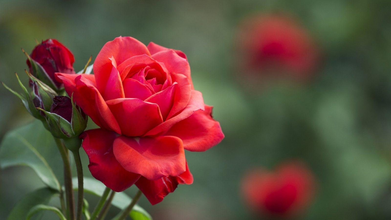 Роза в магии